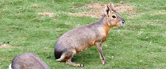 34 animales en peligro de extinción en Argentina Mara10