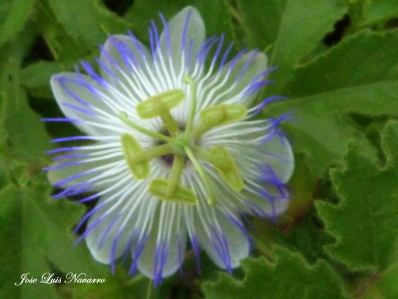 """Mburucuyá rastrero"",o ""Pasionaria azul"" ( Passiflora chrysophylla ) P1520110"