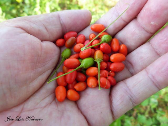 Aji del monte o aji putapario (Capsicum chacoënse ) P1520210