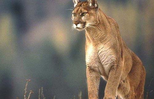 34 animales en peligro de extinción en Argentina Puma10