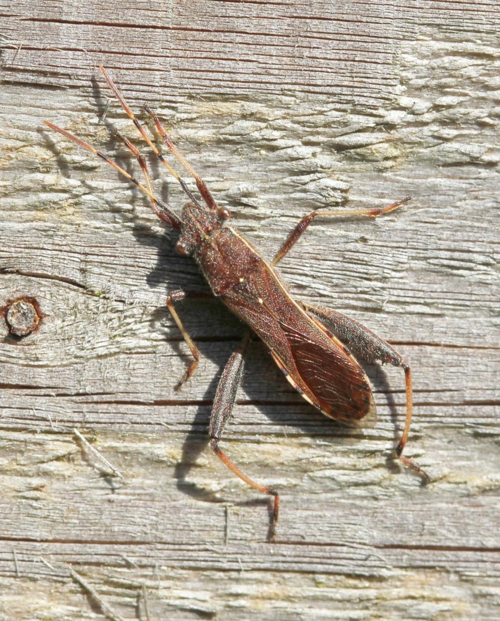 [Camptopus lateralis] [Micrelytra fossularum] Deux alydidae dans le jardin Campto10