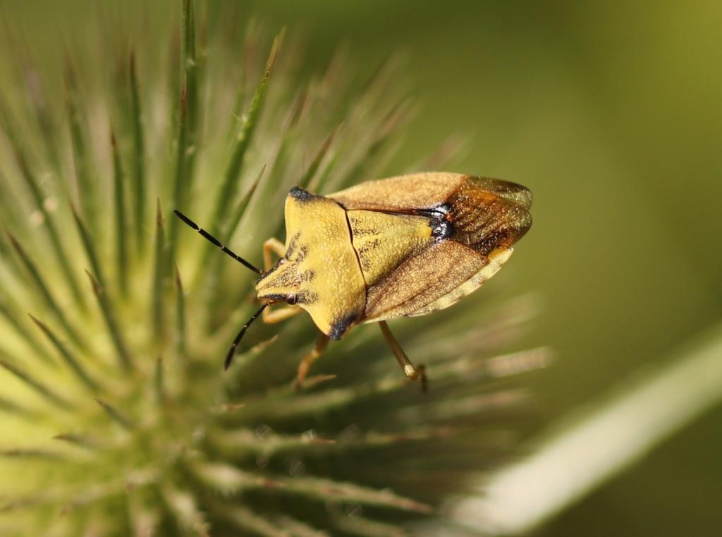 Carpocoris fuscispinus ? Carpoc10