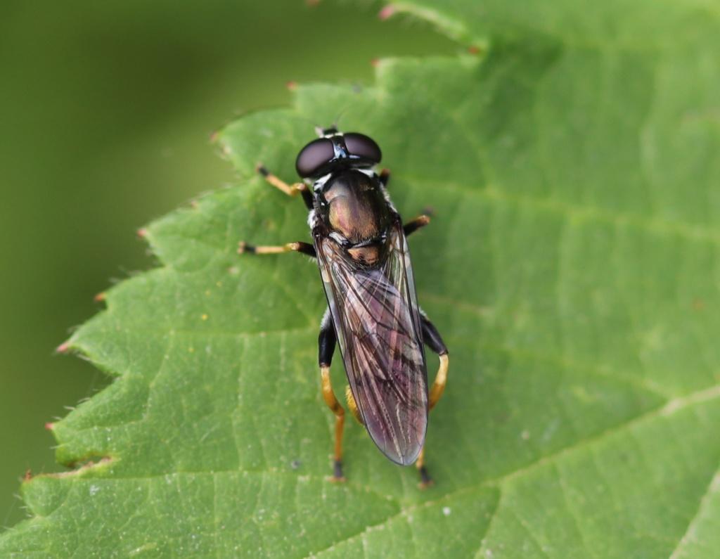 [Xylota sylvarum] Cheilosia scutellata Cheilo10