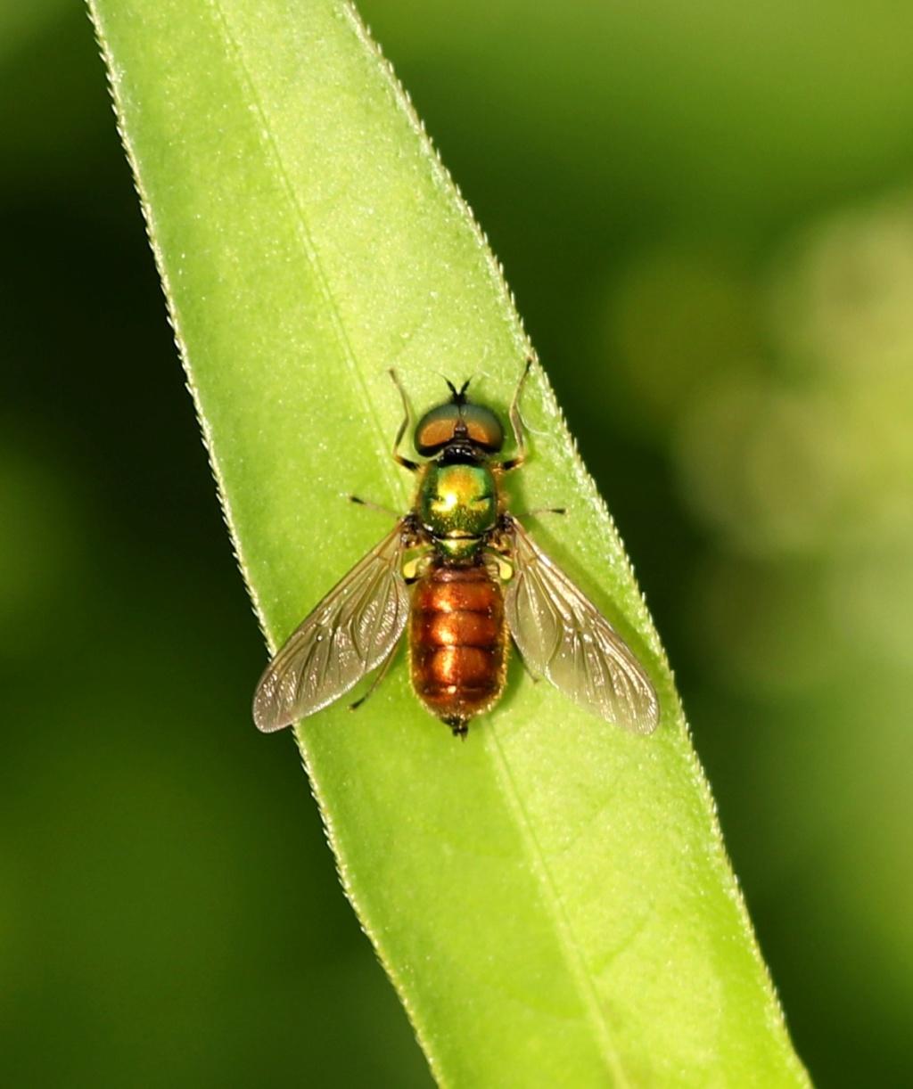 [Chloromyia formosa] Chloro10