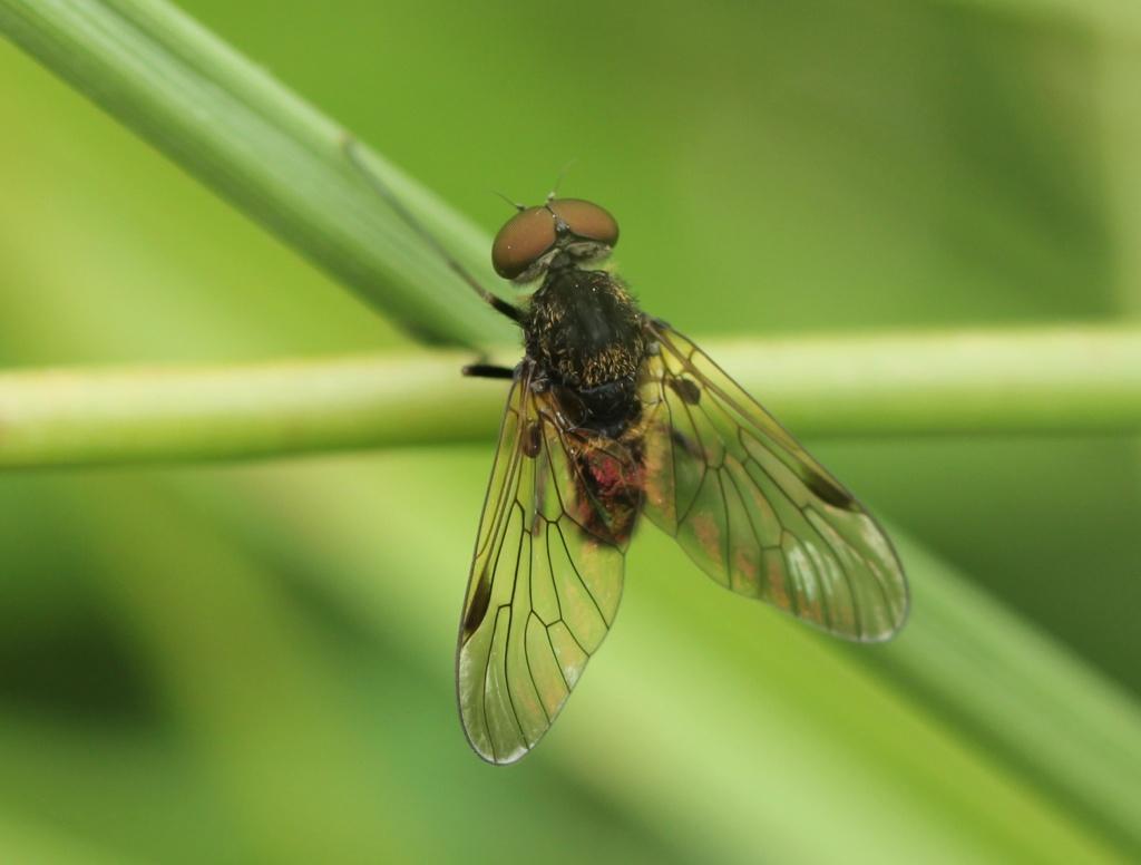 Deux Chrysopilus  Chryso12