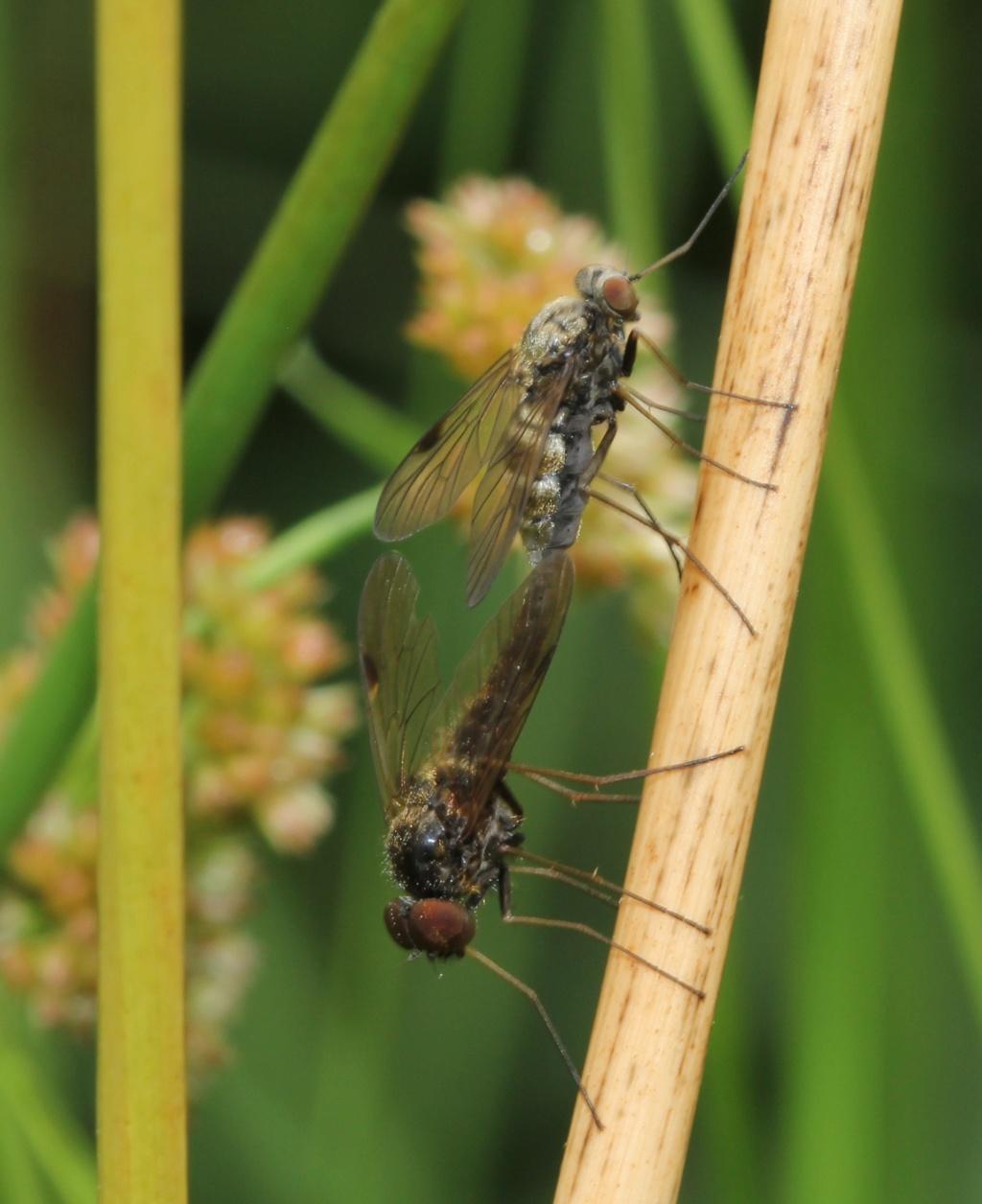 Deux Chrysopilus  Chryso13