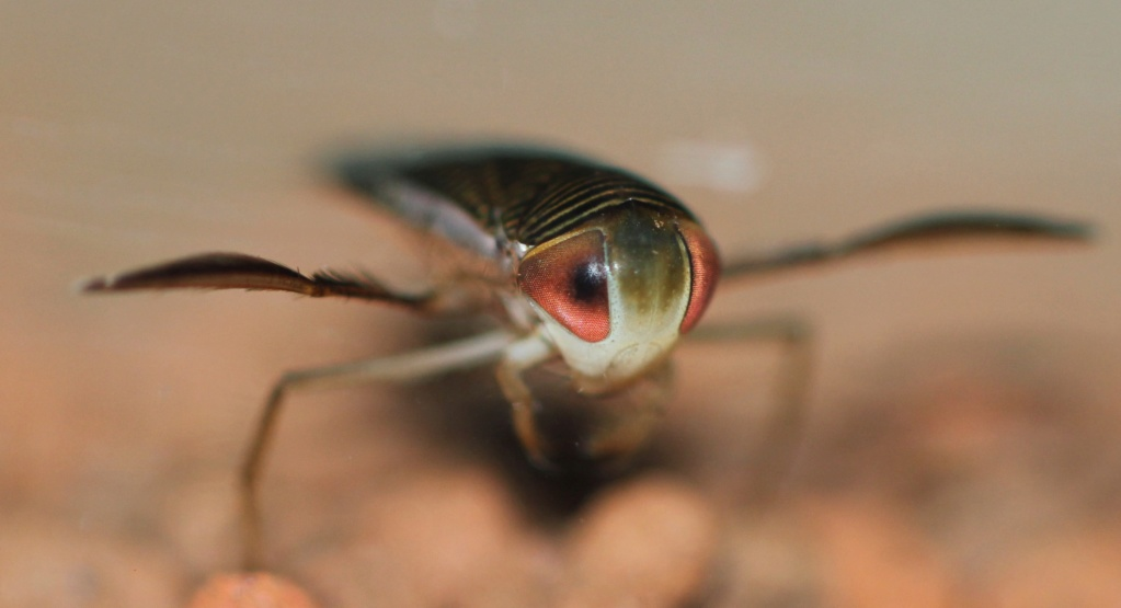 [Corixinae ind.] Corixinae Corise10