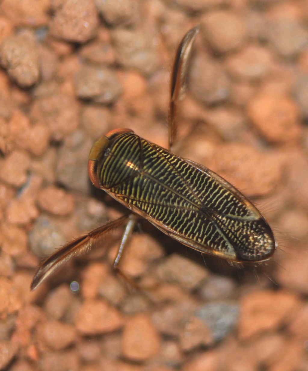 [Corixinae ind.] Corixinae Corise12