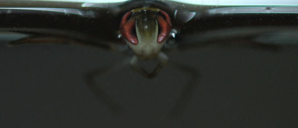 [Corixinae ind.] Corixinae Corise13