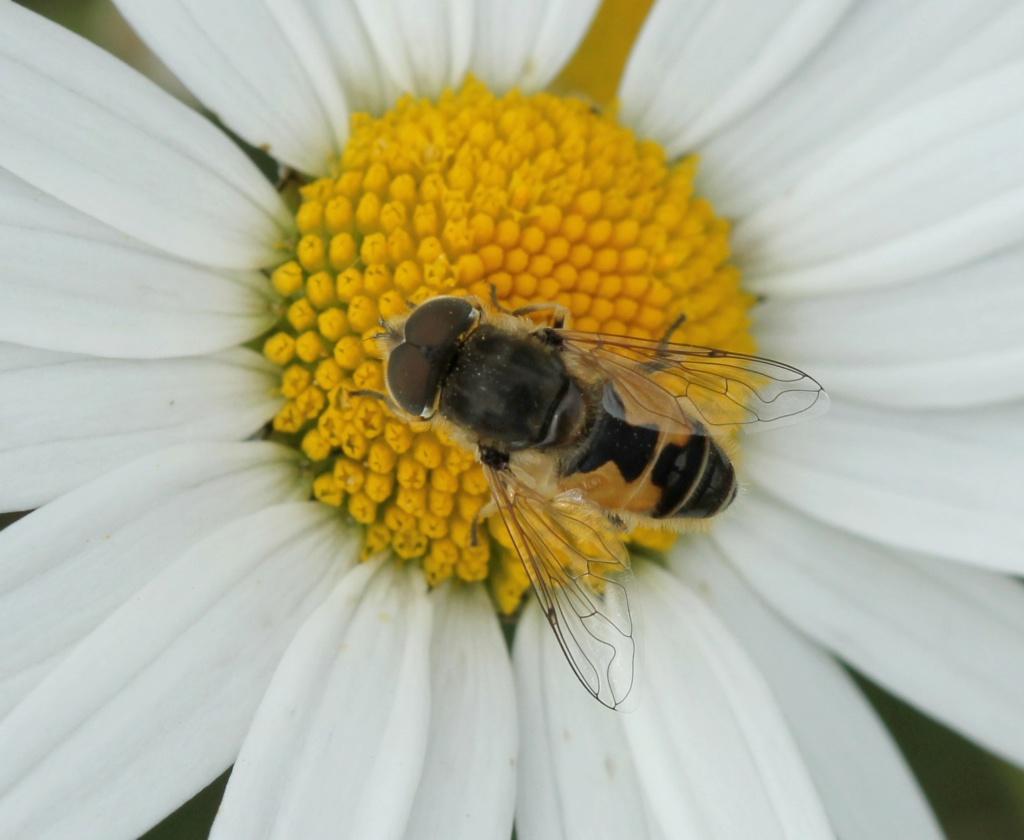 Eristalis arbustorum Erista12