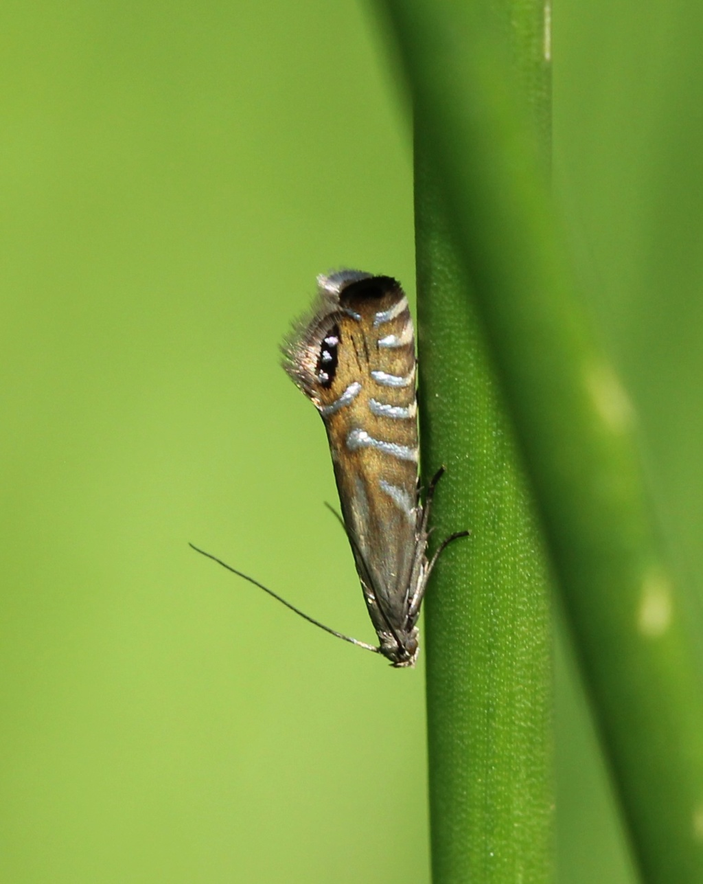 Glyphipterix thrasonella Glyphi10