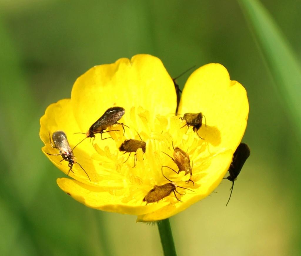 Micropterix calthella Img_0013
