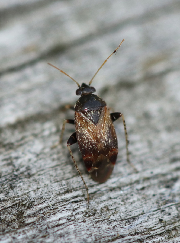 [Charagochilus sp. & Psallus sp.] Charagochilus ? Img_0015