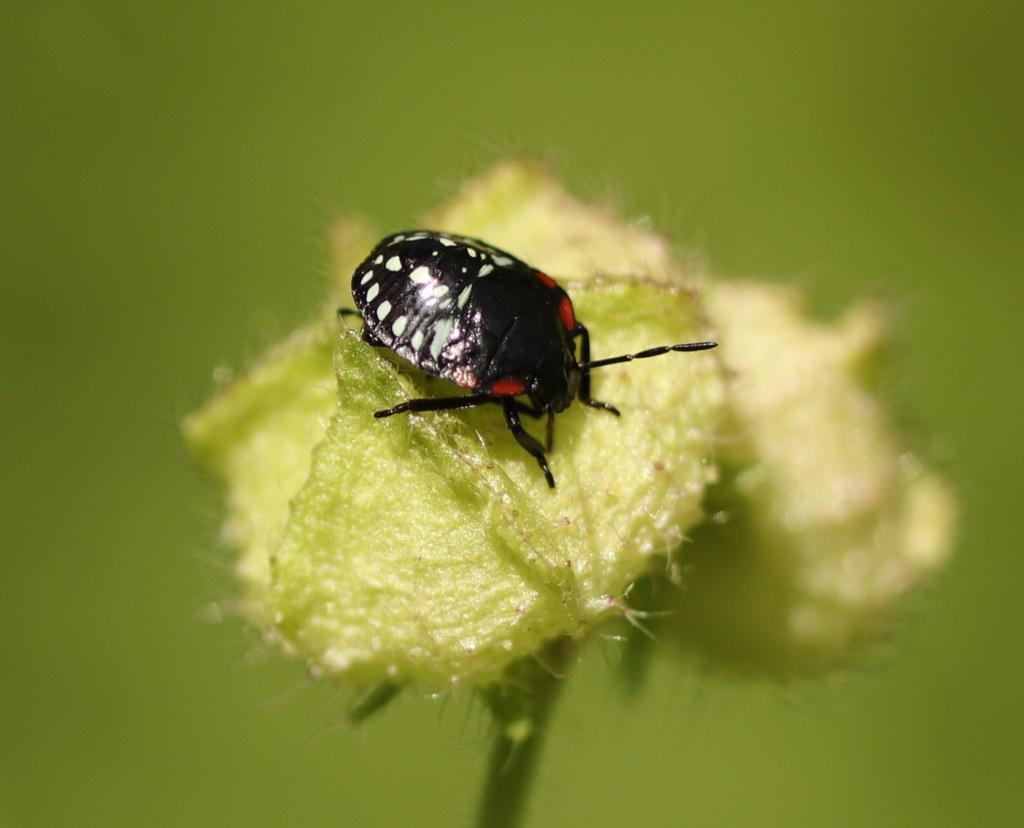 [Nezara viridula_Juvénile] Une larve sur mauve Img_0418