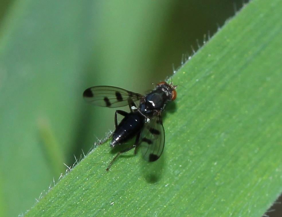 [Geomyza tripunctata] Img_0818