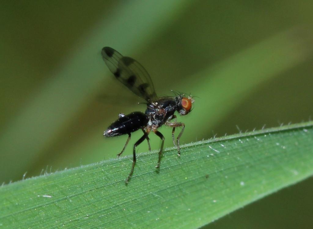 [Geomyza tripunctata] Img_0819