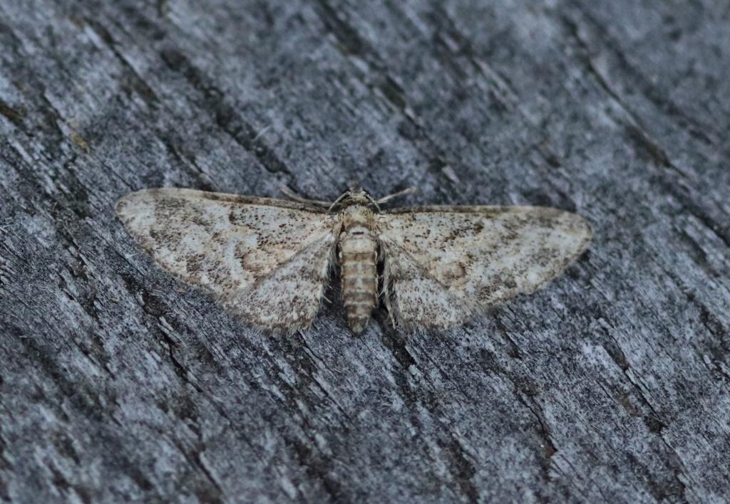 Eupithecia Img_0821