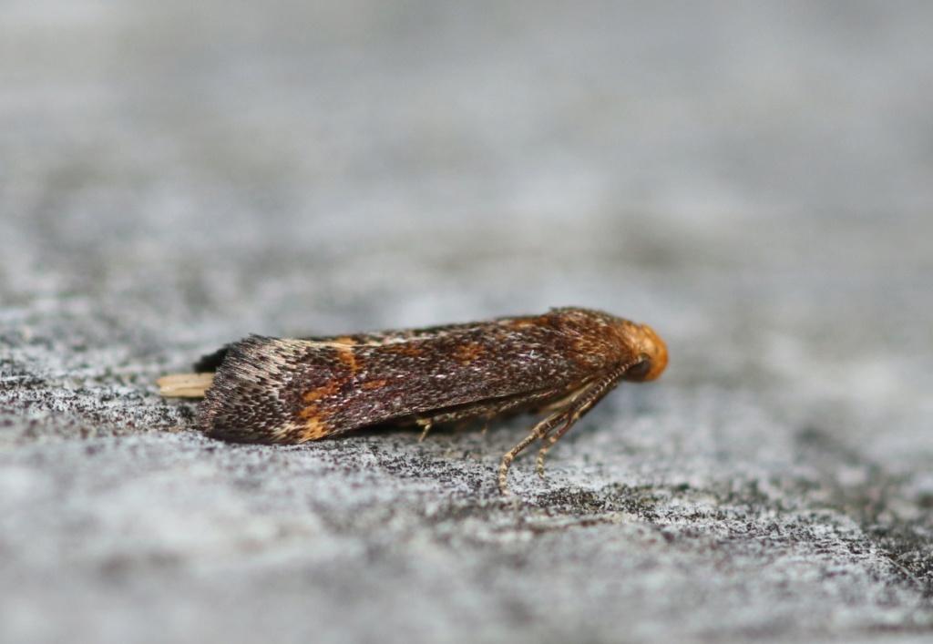 Apodia bifractella Img_0822