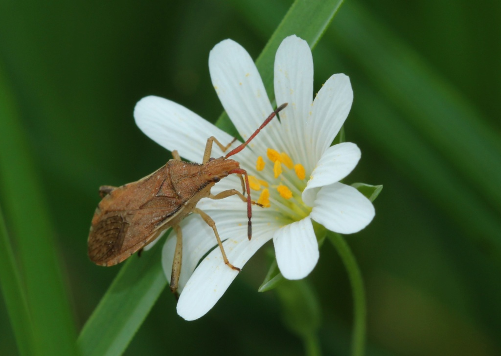 [Ceraleptus lividus] Ceraleptus lividus Img_0912