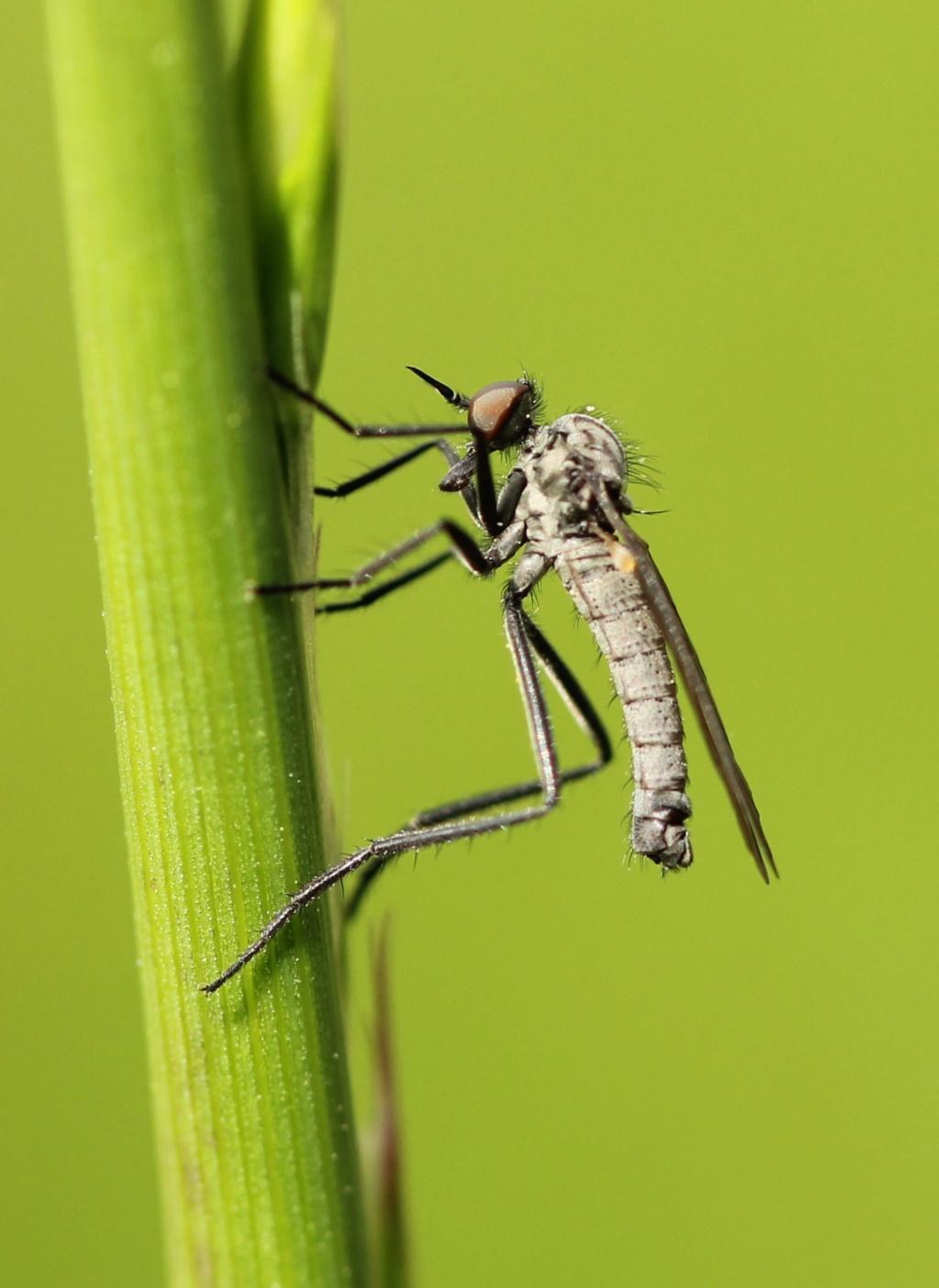 Rhamphomyia stigmosa ? Img_1511