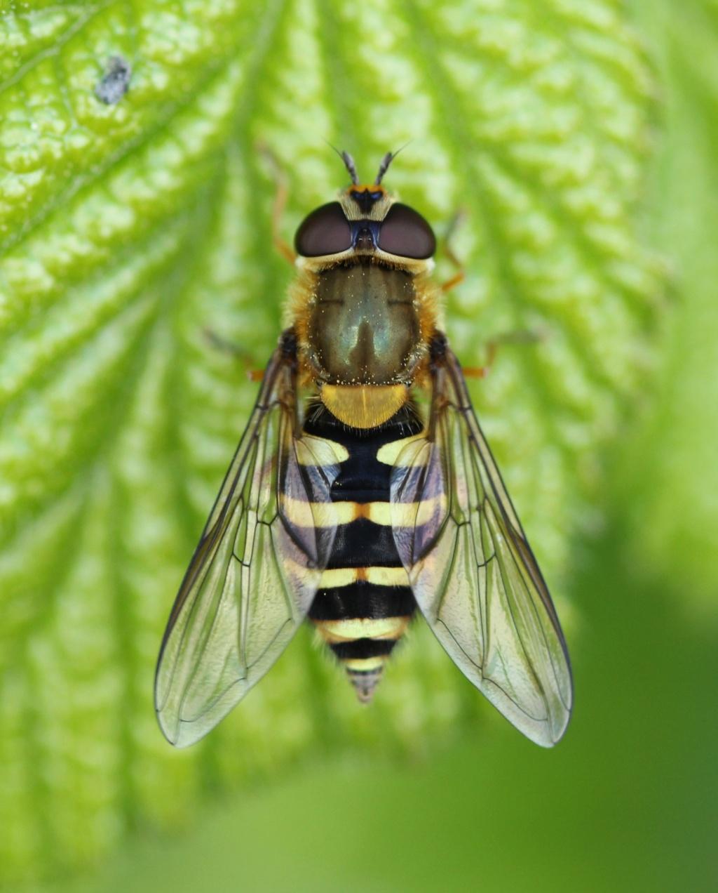 Eupeodes ? Img_1810
