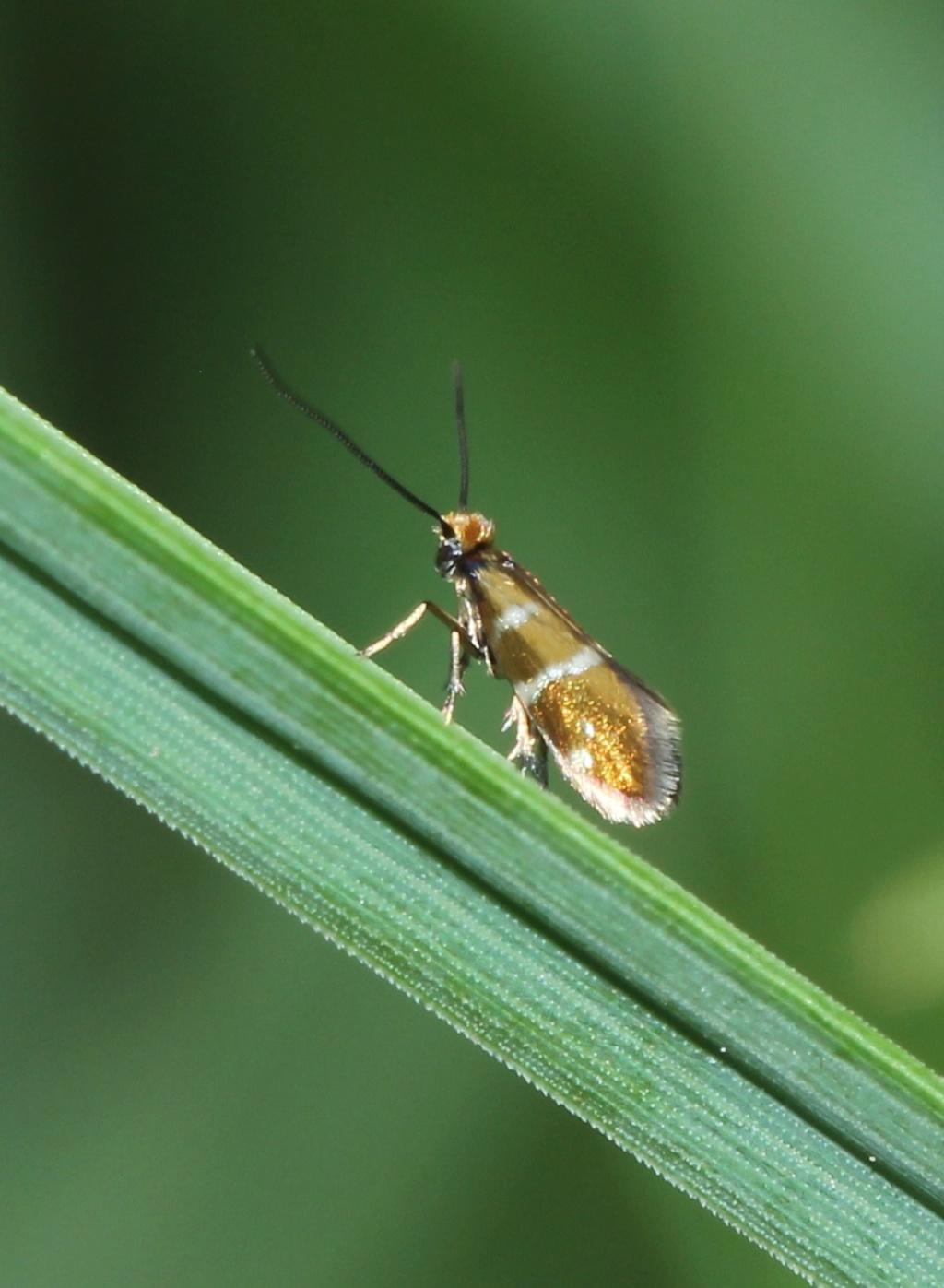 La vie sexuelle de Micropterix aruncella Img_1918