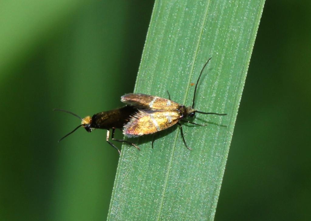 La vie sexuelle de Micropterix aruncella Img_1919