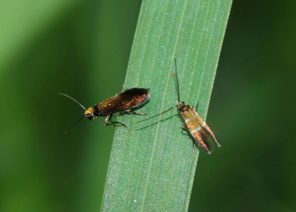La vie sexuelle de Micropterix aruncella Img_1920