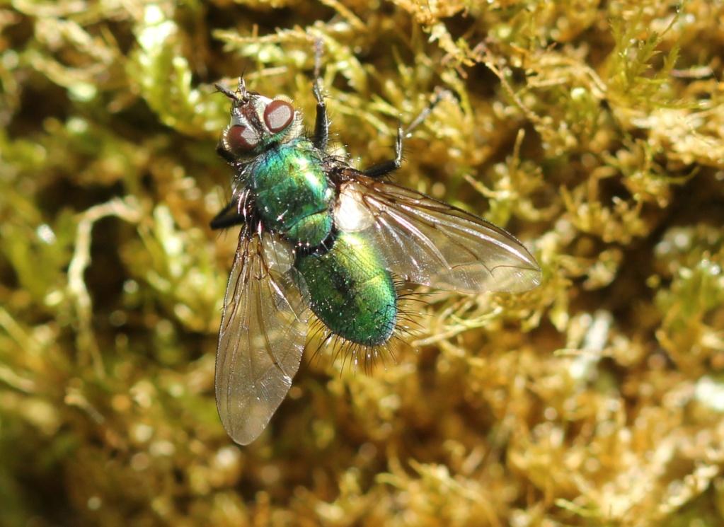 [Gymnocheta viridis] Chrysosomopsis aurata ? Img_2011