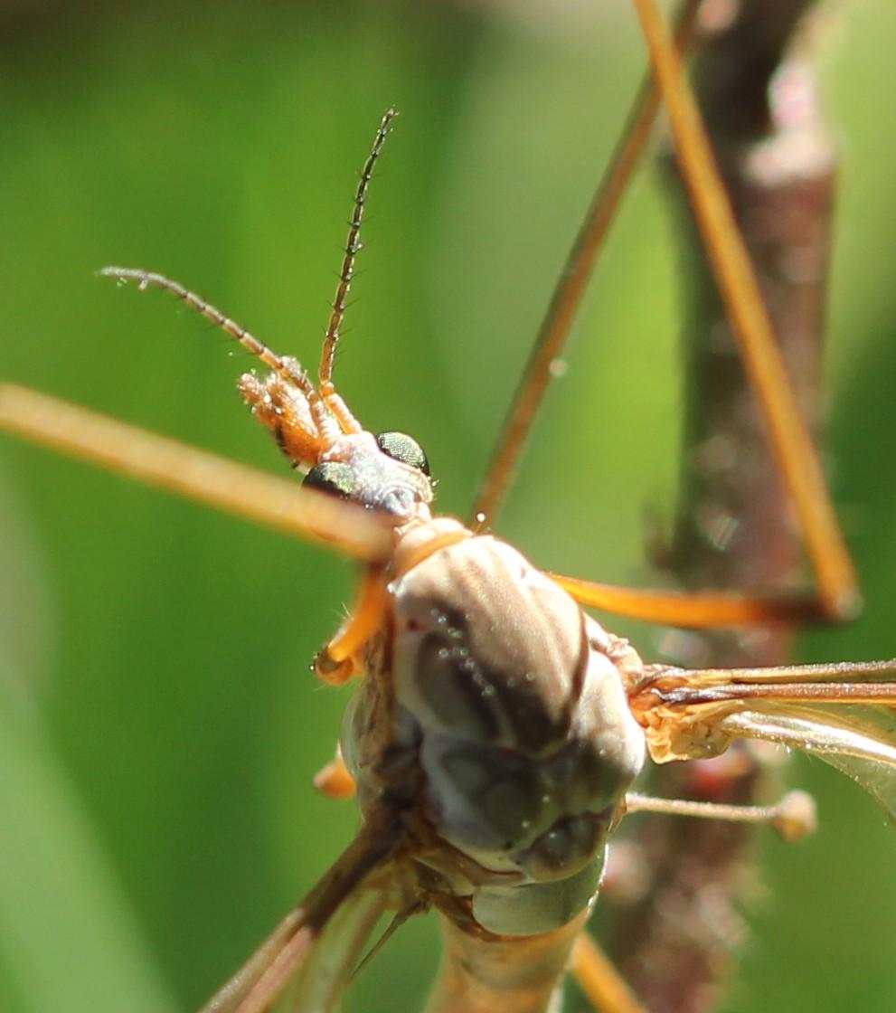 [Tipula oleracea] tipule Img_2012