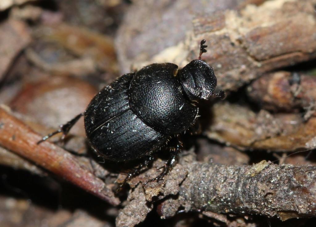 Onthophagus emarginatus ? Img_2211