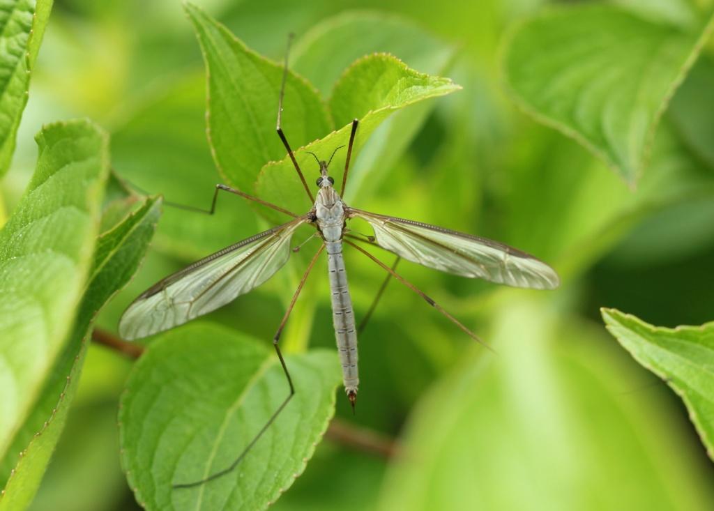 Tipula oleracea Img_2417