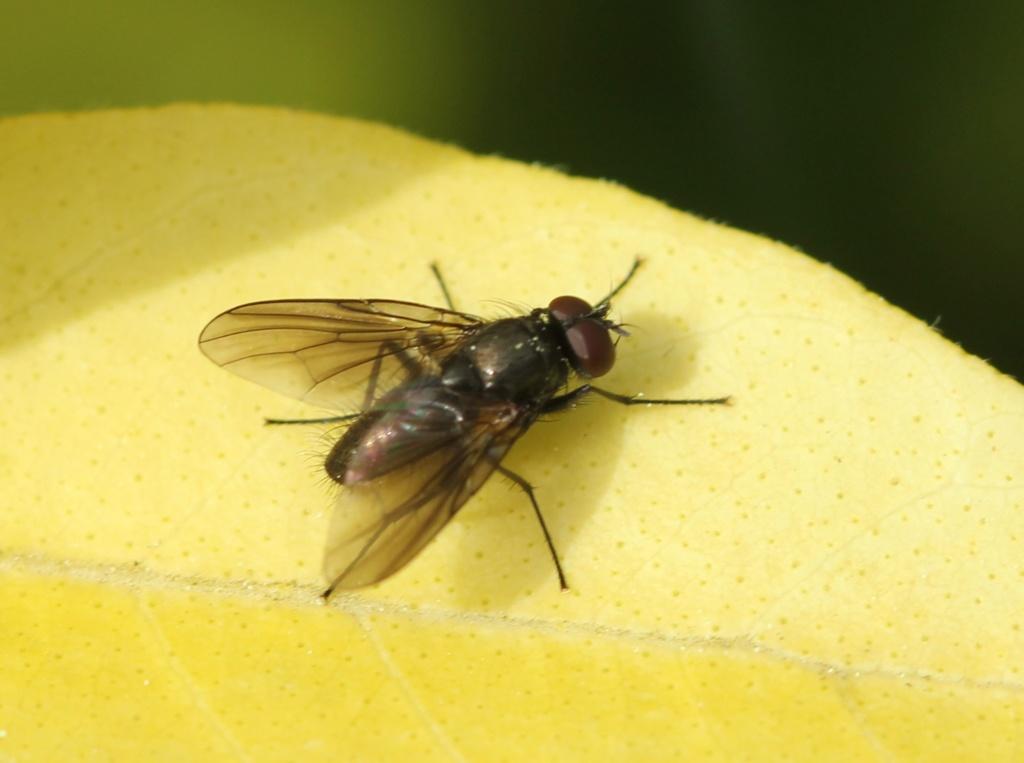 Calythea nigricans ? Img_2510