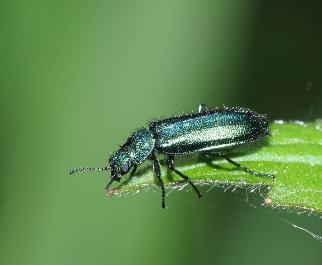 Dasytidae Img_2511