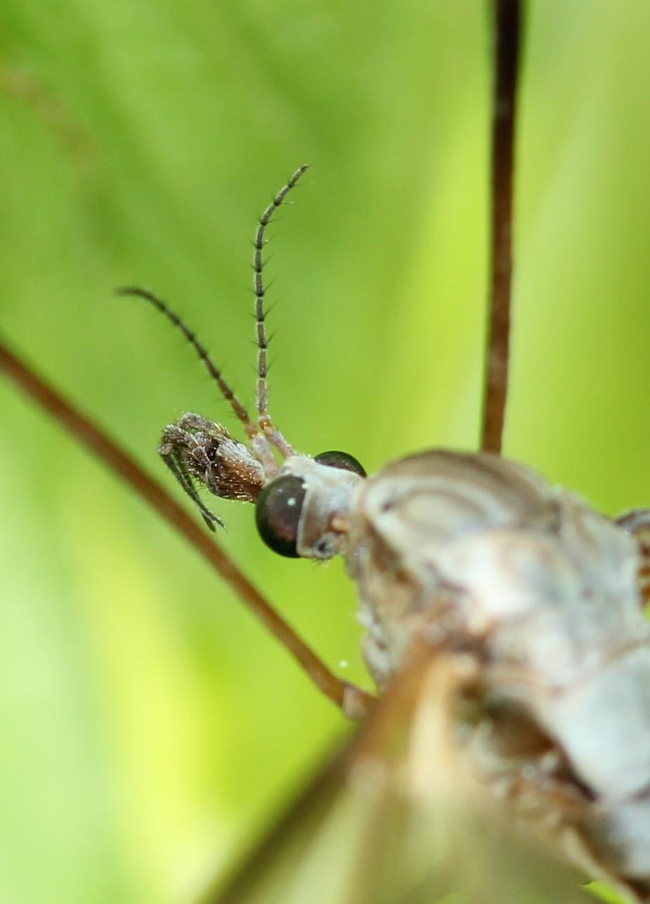 Tipula oleracea Img_2610