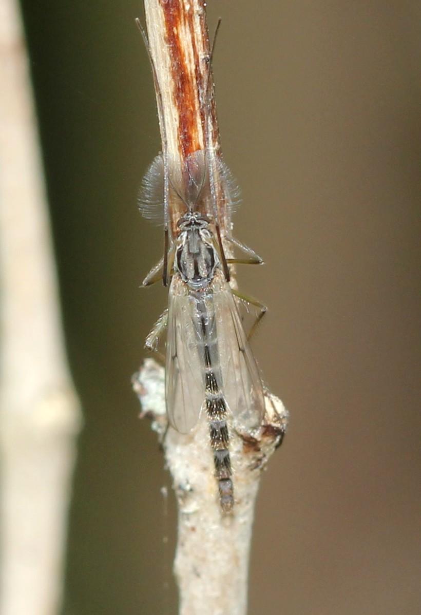chiromomidae ? Img_2711
