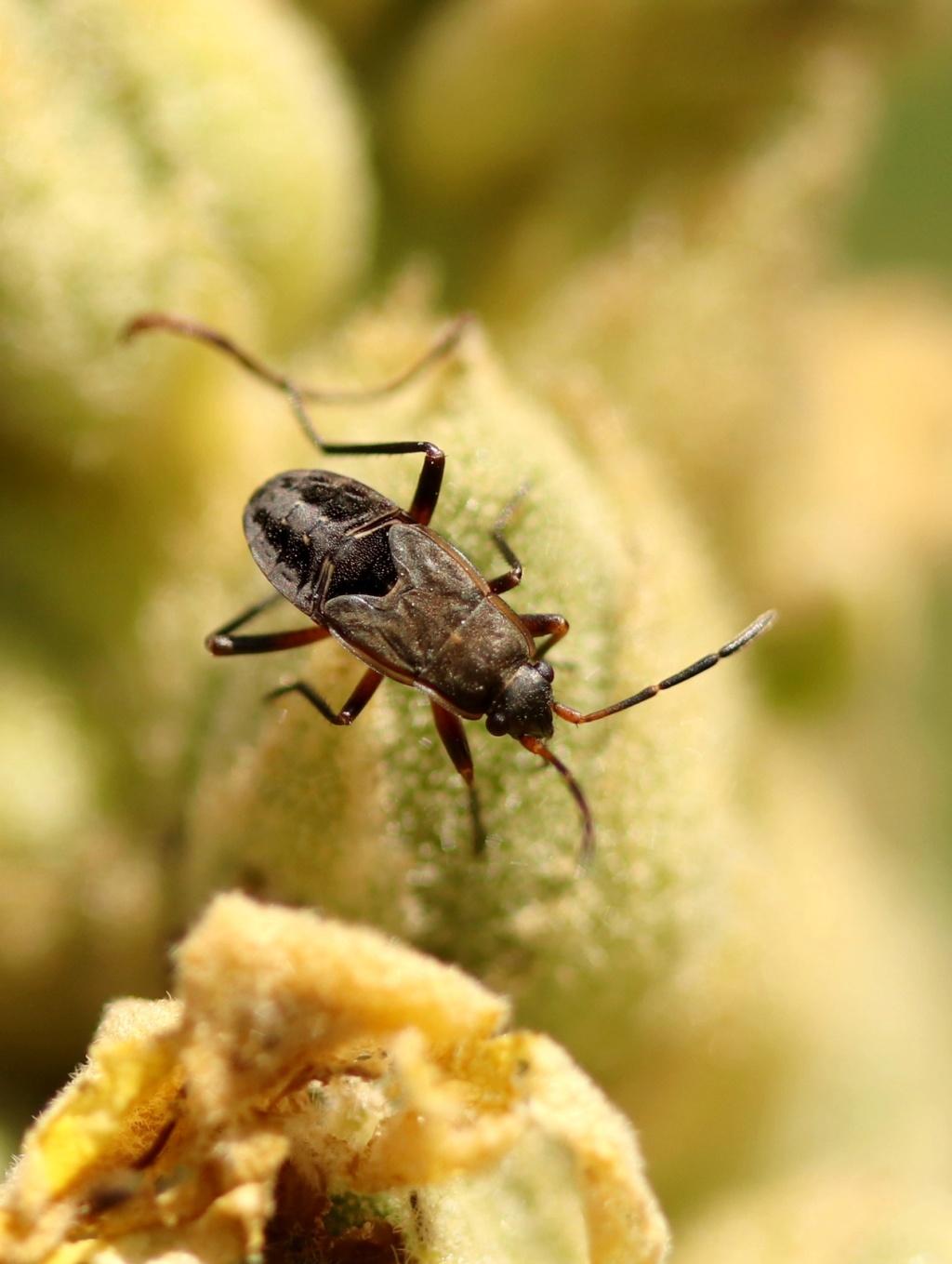 [Rhyparochromus sp. juvénile _ Hautes Alpes] Inconnue ? Img_2912