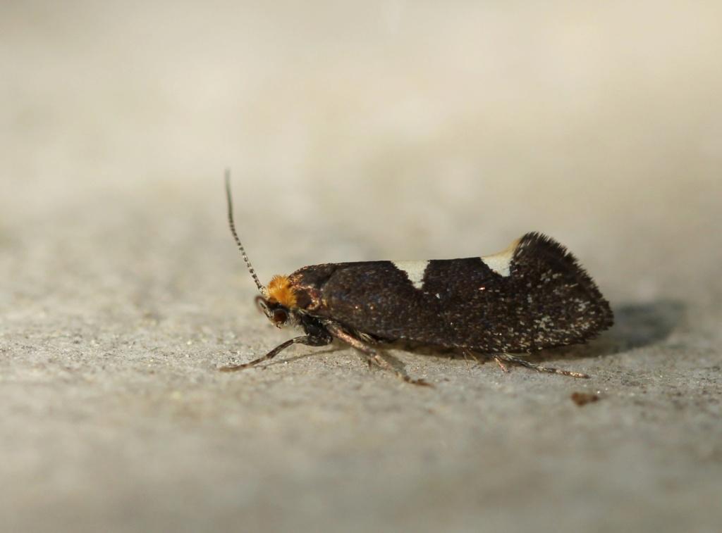 Incurvaria masculella Img_3314