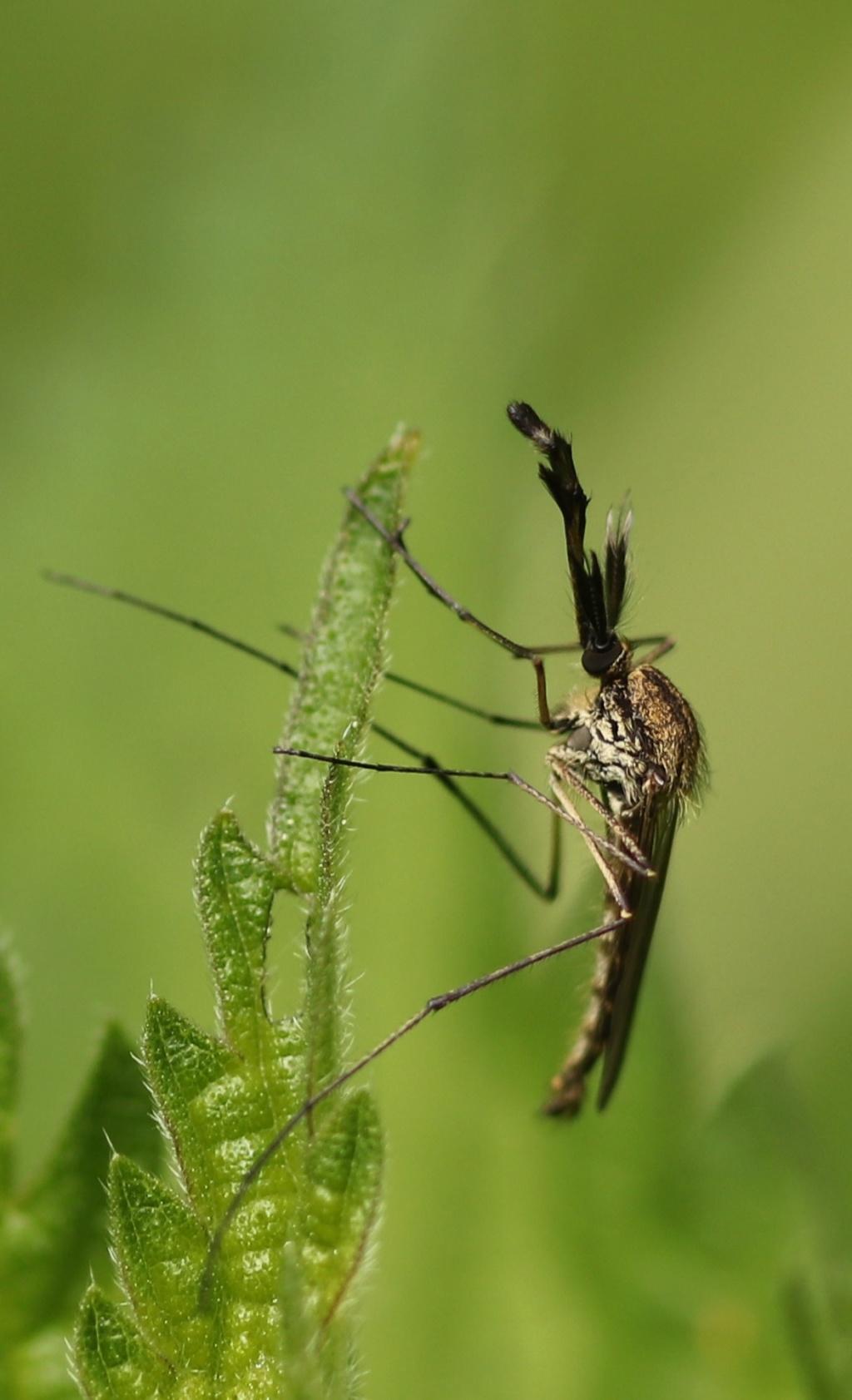 [Ochlerotatus geniculatus] Img_3510