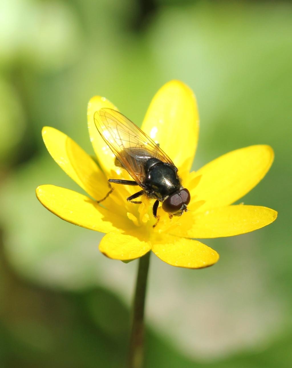 [Chelosia sp.] Et encore une Cheilosia Img_4211