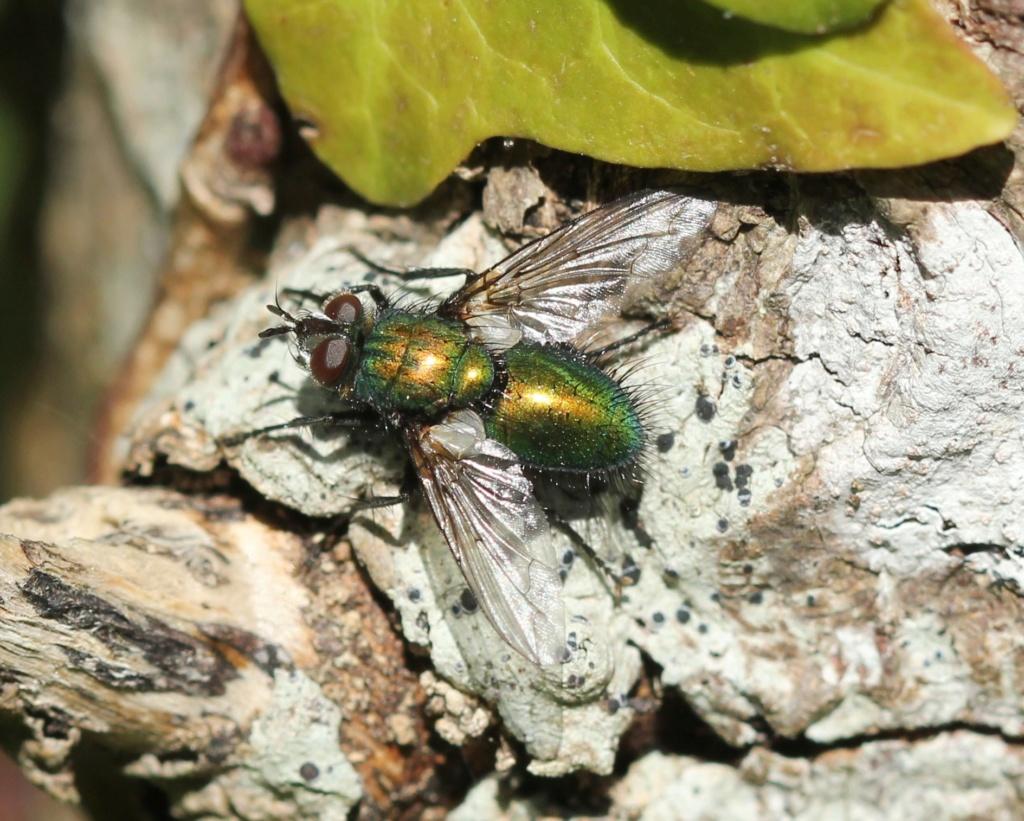 [Gymnocheta viridis] Img_4613