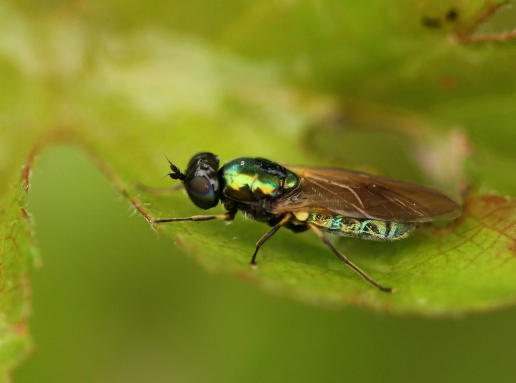 [Chloromyia formosa] Img_4712