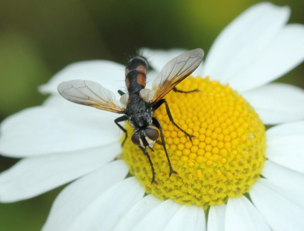 Cylindromyia Img_4816