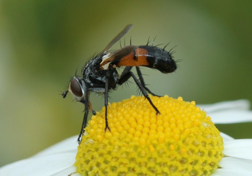 Cylindromyia Img_4817