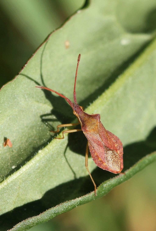 [Haploprocta sulcicornis] Haploprocta sulcicornis  Img_4912