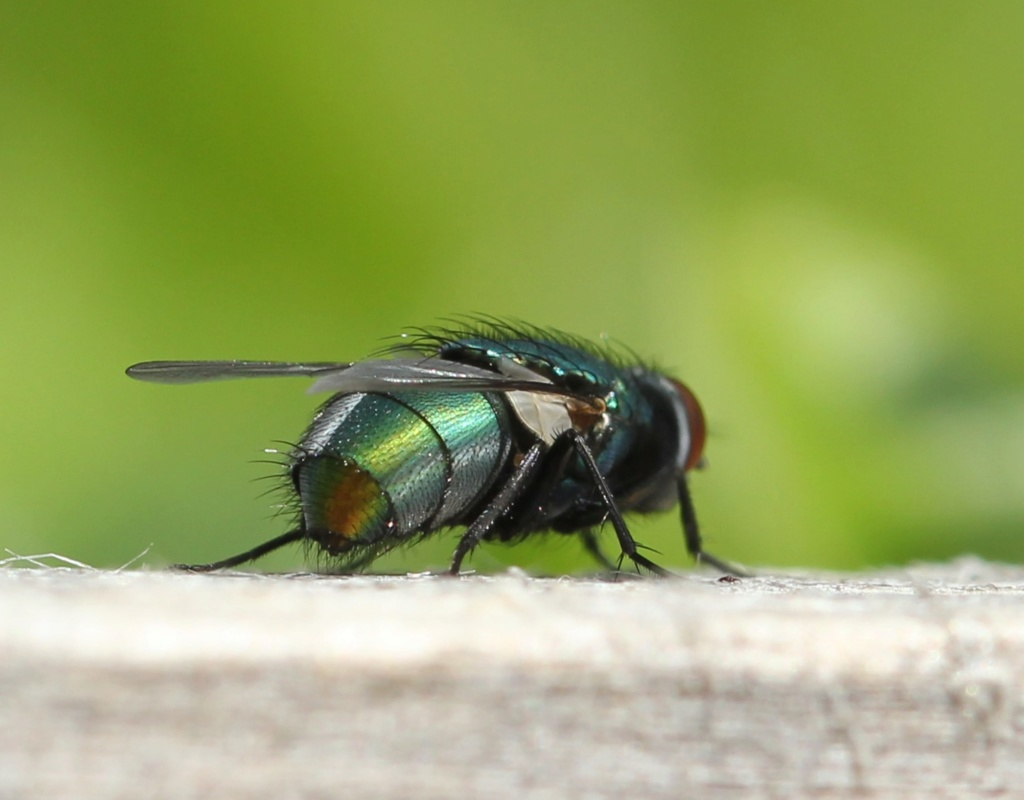 Neomyia viridescens ? Img_5215