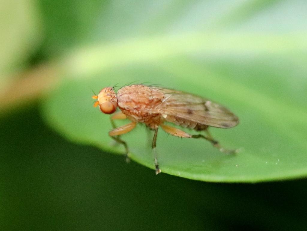 Opomyza florum Img_5711