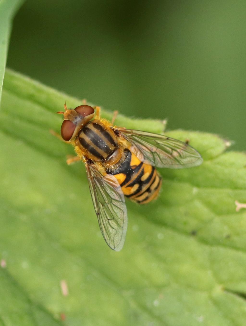 [Parhelophilus sp.] Img_6012