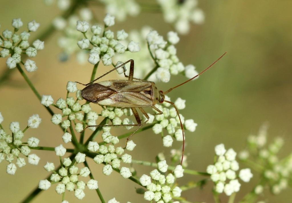 [Adelphocoris sp._Hautes Alpes] Adelphocoris lineolatus ? Img_6513
