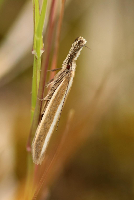Pleurota aristella Img_6610